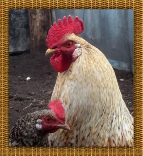 Курица наседка