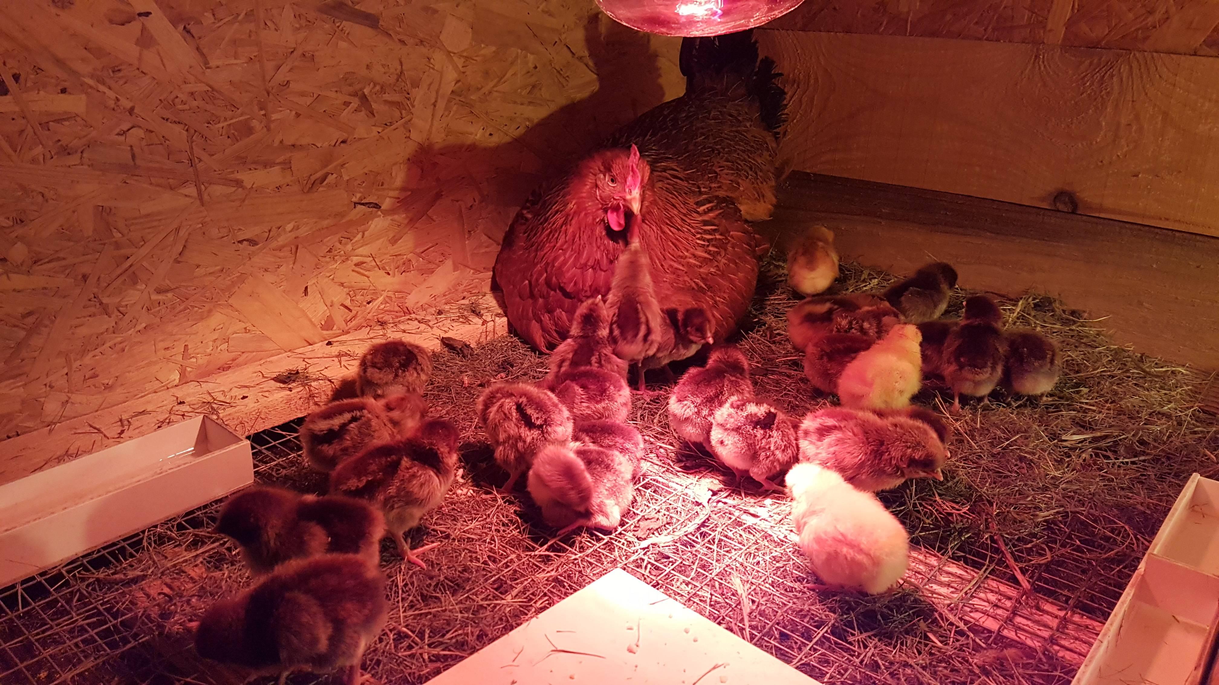 Сонник курица наседка. к чему снится курица наседка видеть во сне - сонник дома солнца