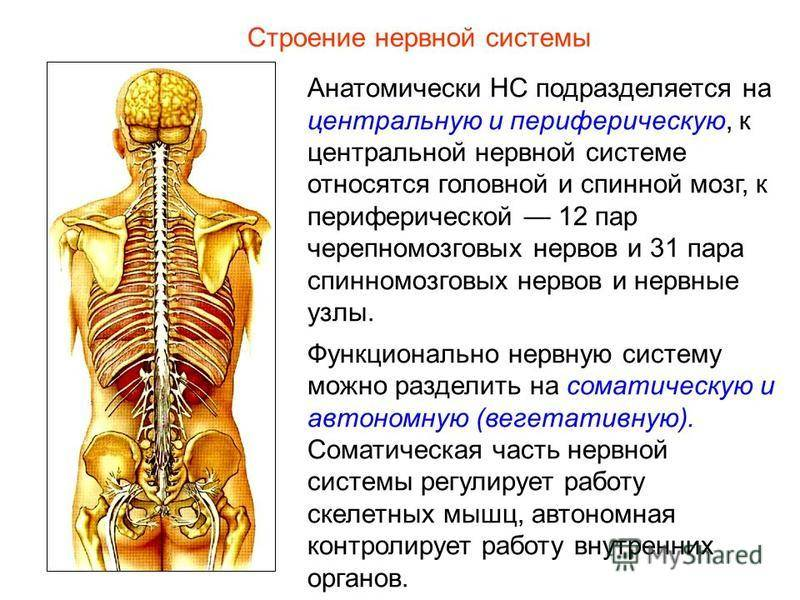 Вегетативная нервная система — википедия переиздание // wiki 2