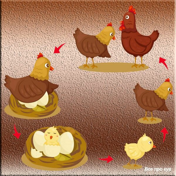 Исследовательская работа по теме: выведение цыплят курицей-наседкой.