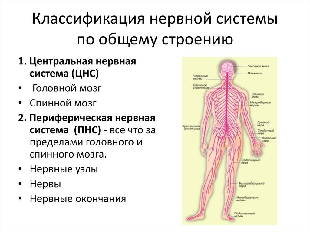 Общий обзор вегетативной нервной системы (внс) – строение, отделы и функции