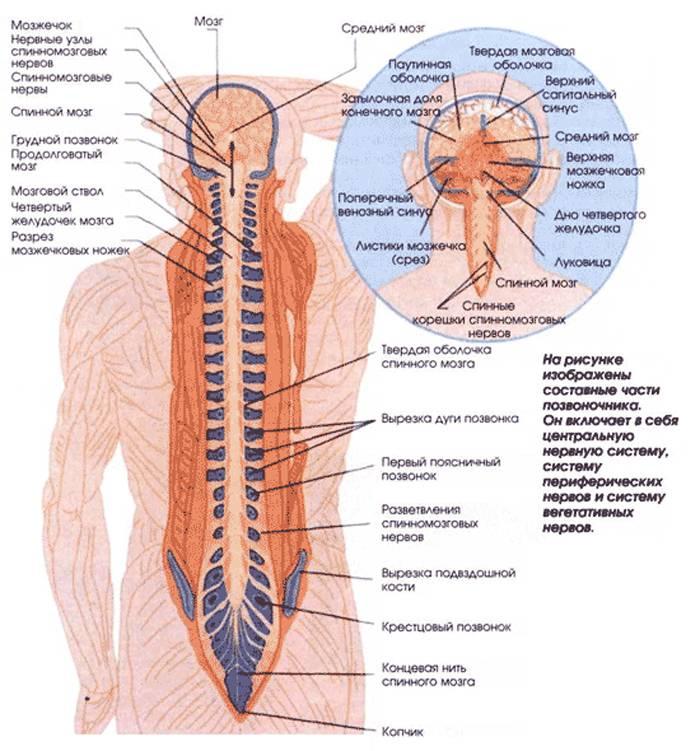 Вегетативная нервная система: функции и строение