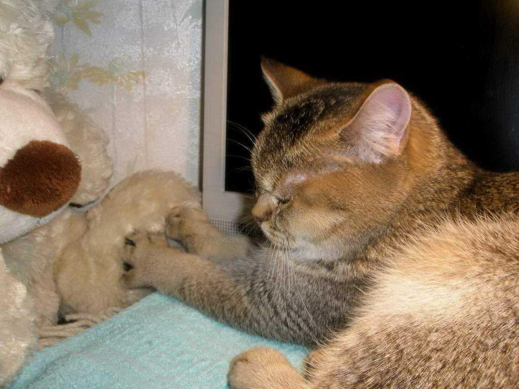 Беременная рыжая кошка