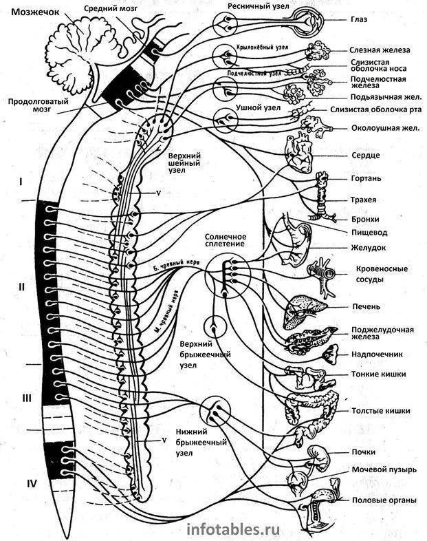 Вегетативная нервная система - психология дома солнца