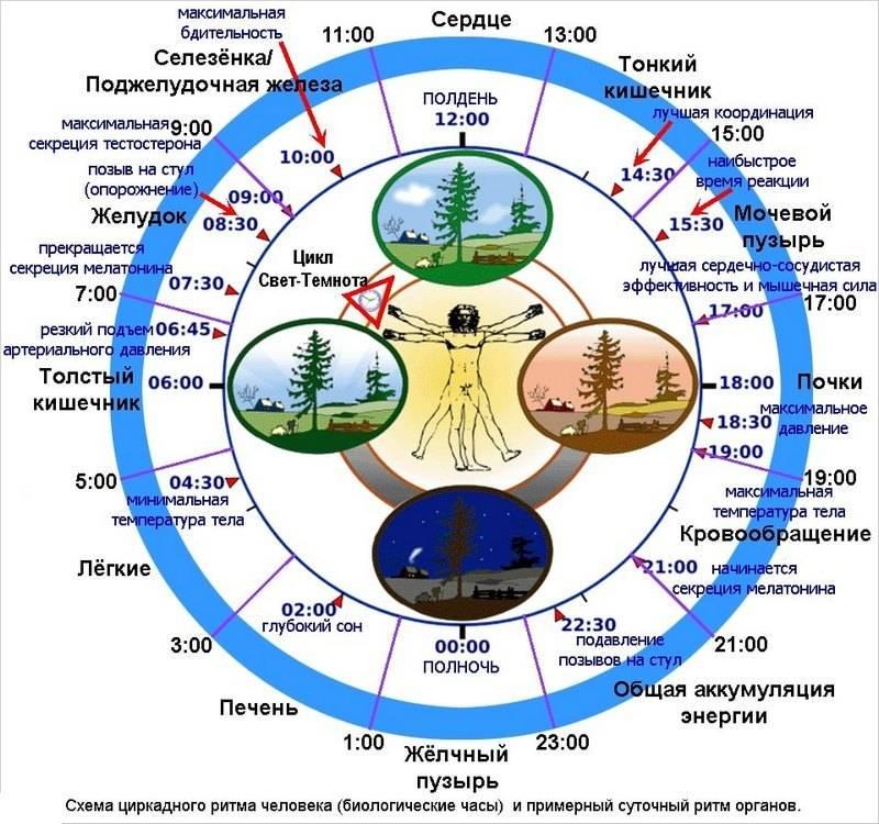 10 фактов о биологических ритмах, которые нужно знать