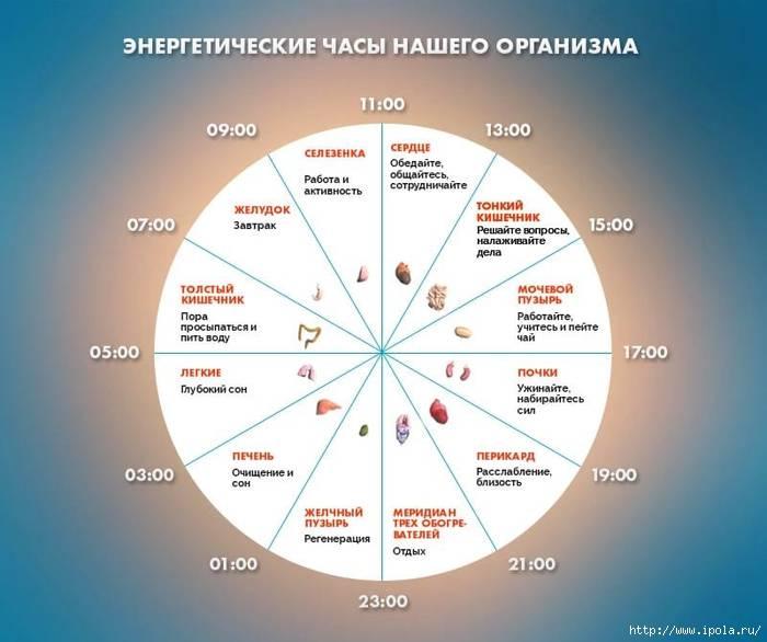 Биологические ритмы в жизни человека, биоритмы организма – подробно, по часам