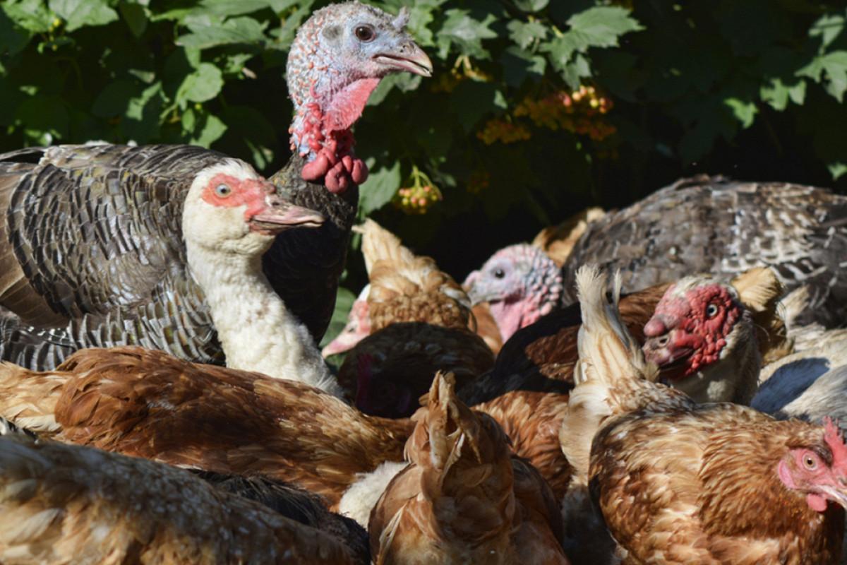 Курица наседка: выбор, особенности ухода, высиживание цыплят