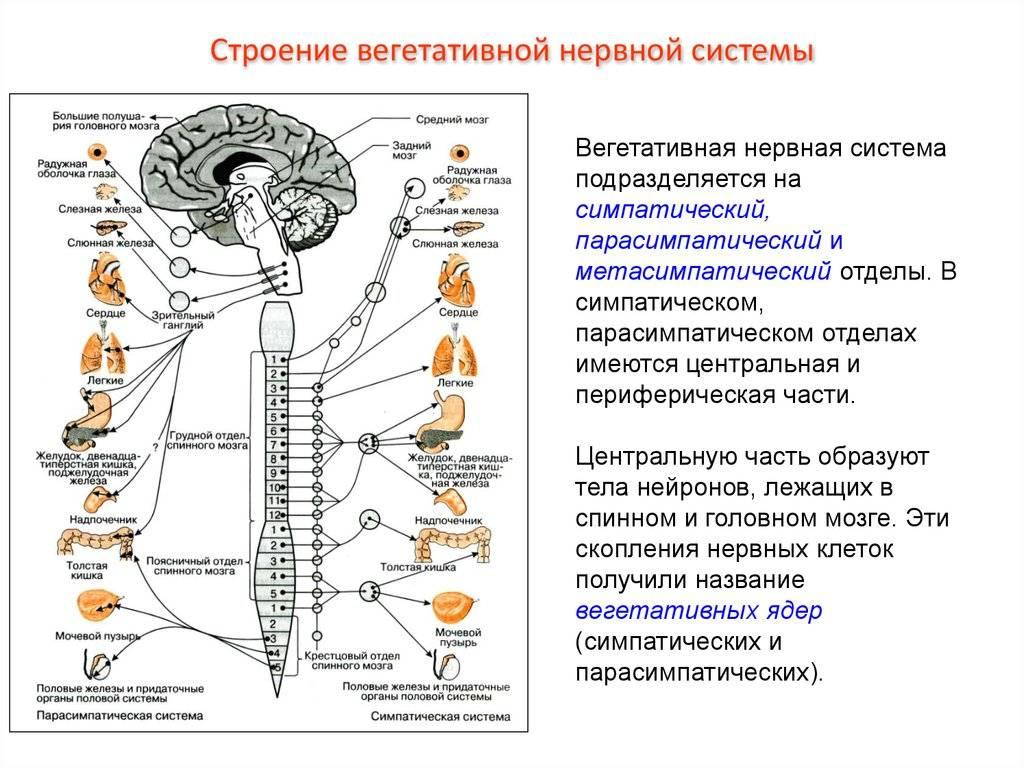 Вегетативная нервная система кратко и понятно - функции + 5 видео