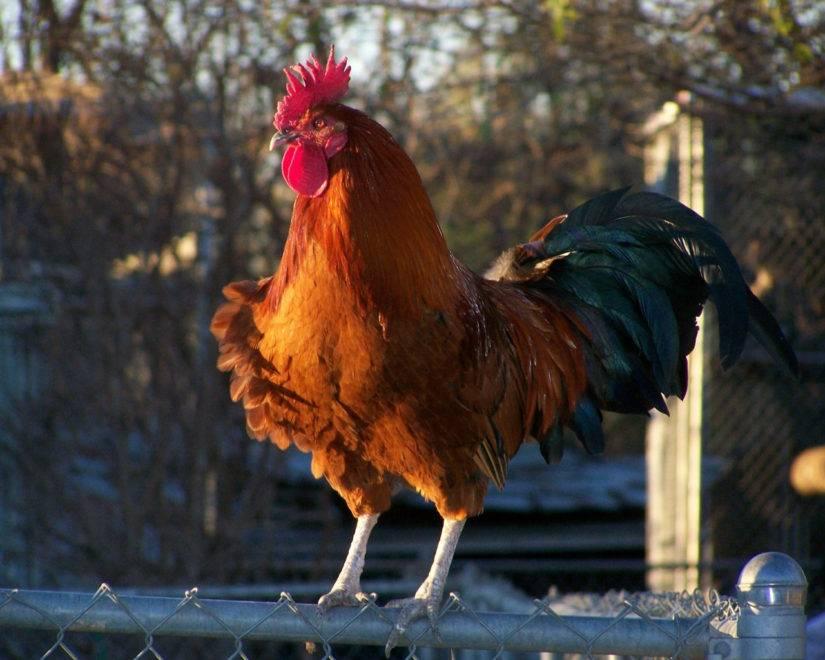 Исследовательская работа по теме: выведение цыплят курицей-наседкой. | социальная сеть работников образования