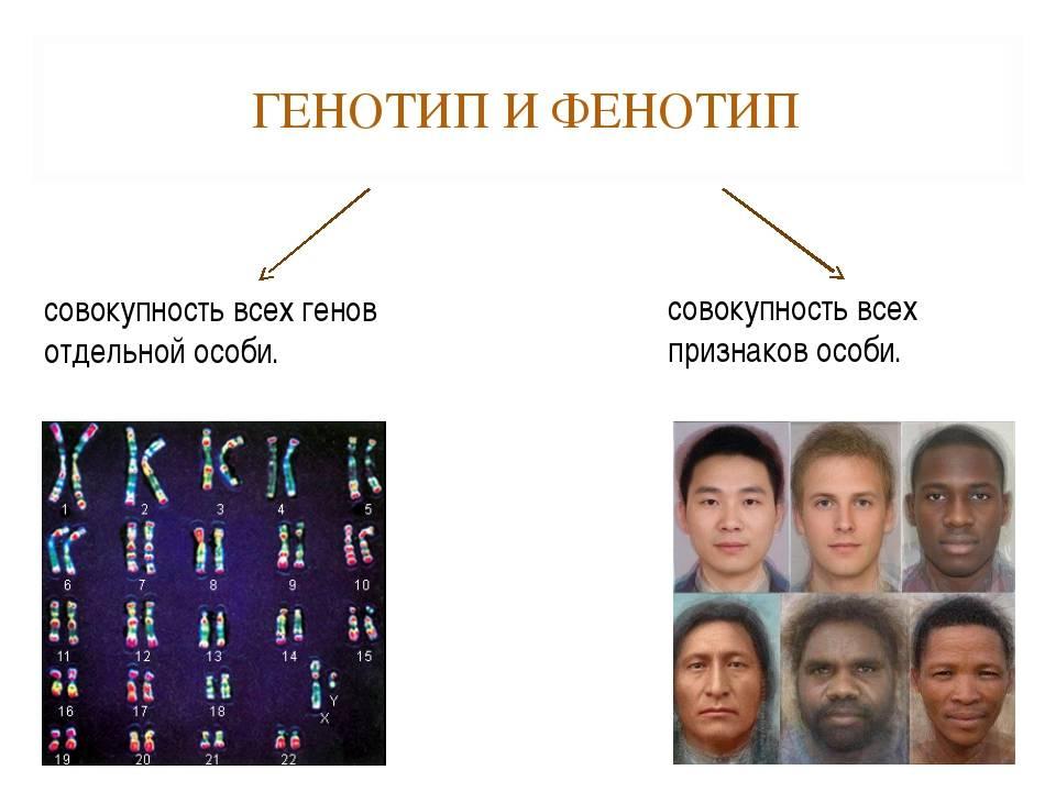 Генотип — что это такое | ktonanovenkogo.ru