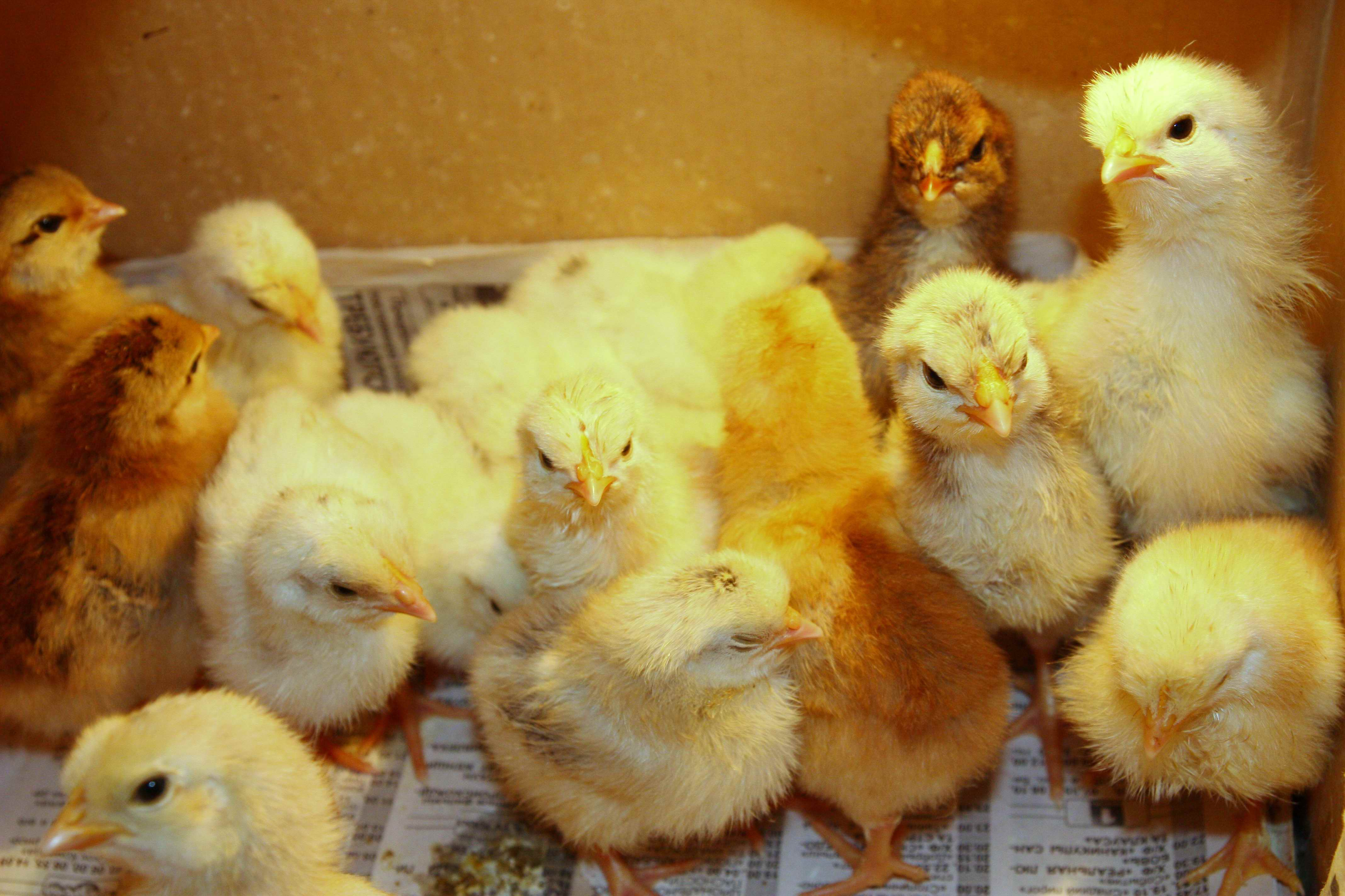 Как определить, курица села высиживать цыплят или заболела?