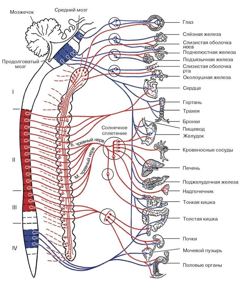 Анатомия: вегетативная ( автономная ) нервная система. функции вегетативной нервной системы.