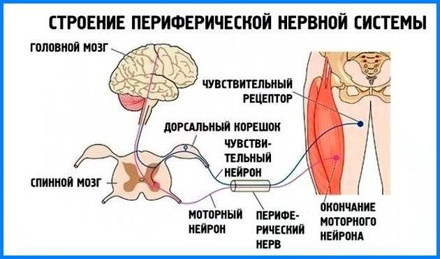 Вегетативная нервная система человека. расстройство вегетативной нервной системы. как укрепить вегетативную нервную систему. вегето-сосудистая дистония и её признаки. женский сайт inmoment.ru