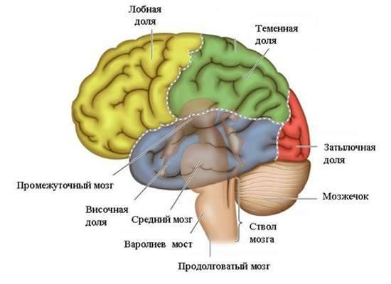 За что отвечает спинной мозг