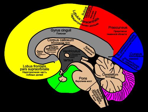 Когнитивная карта - cognitive map - qwe.wiki