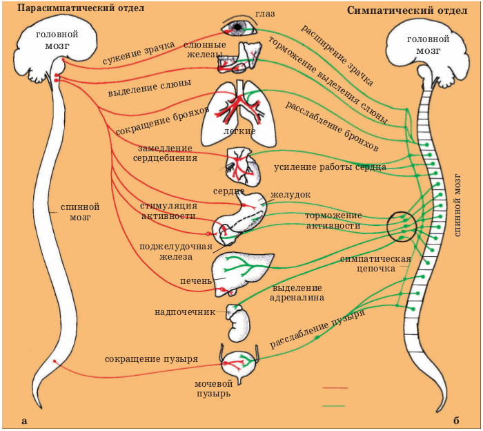 Вегетативная нервная система кратко. или мышца, поднимающая волос