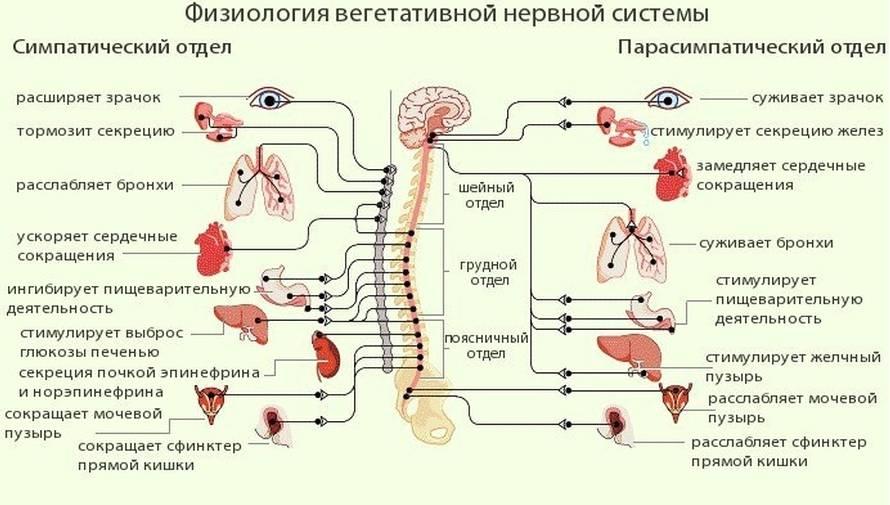 Нарушение вегетативной нервной системы: признаки и лечение