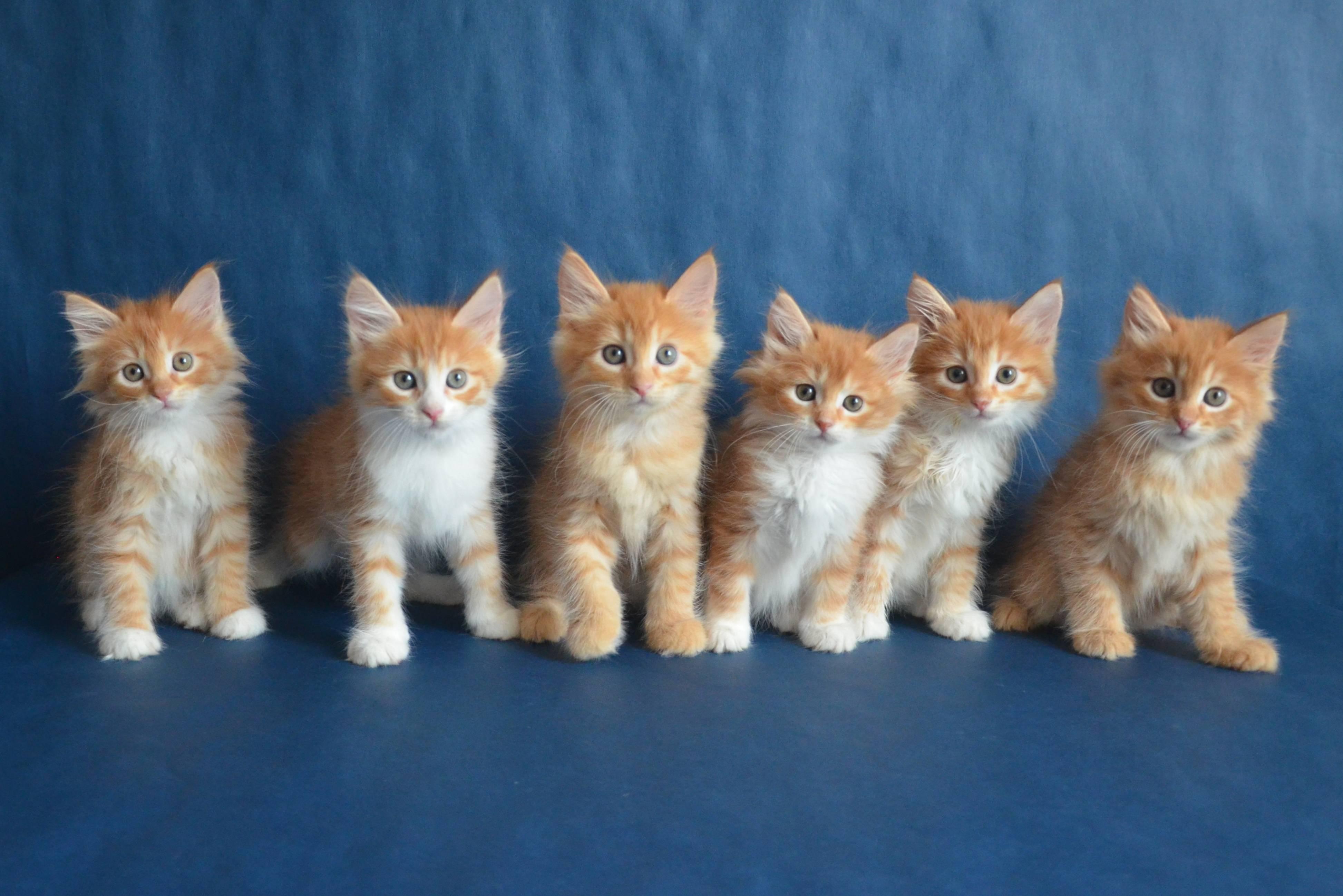Рыжая рыжая кошка