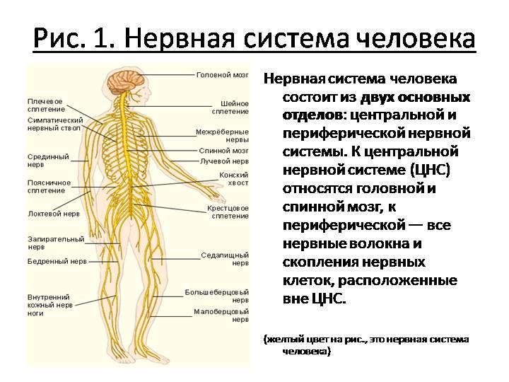 Что такое вегетативная нервная система и ее влияние на эмоции