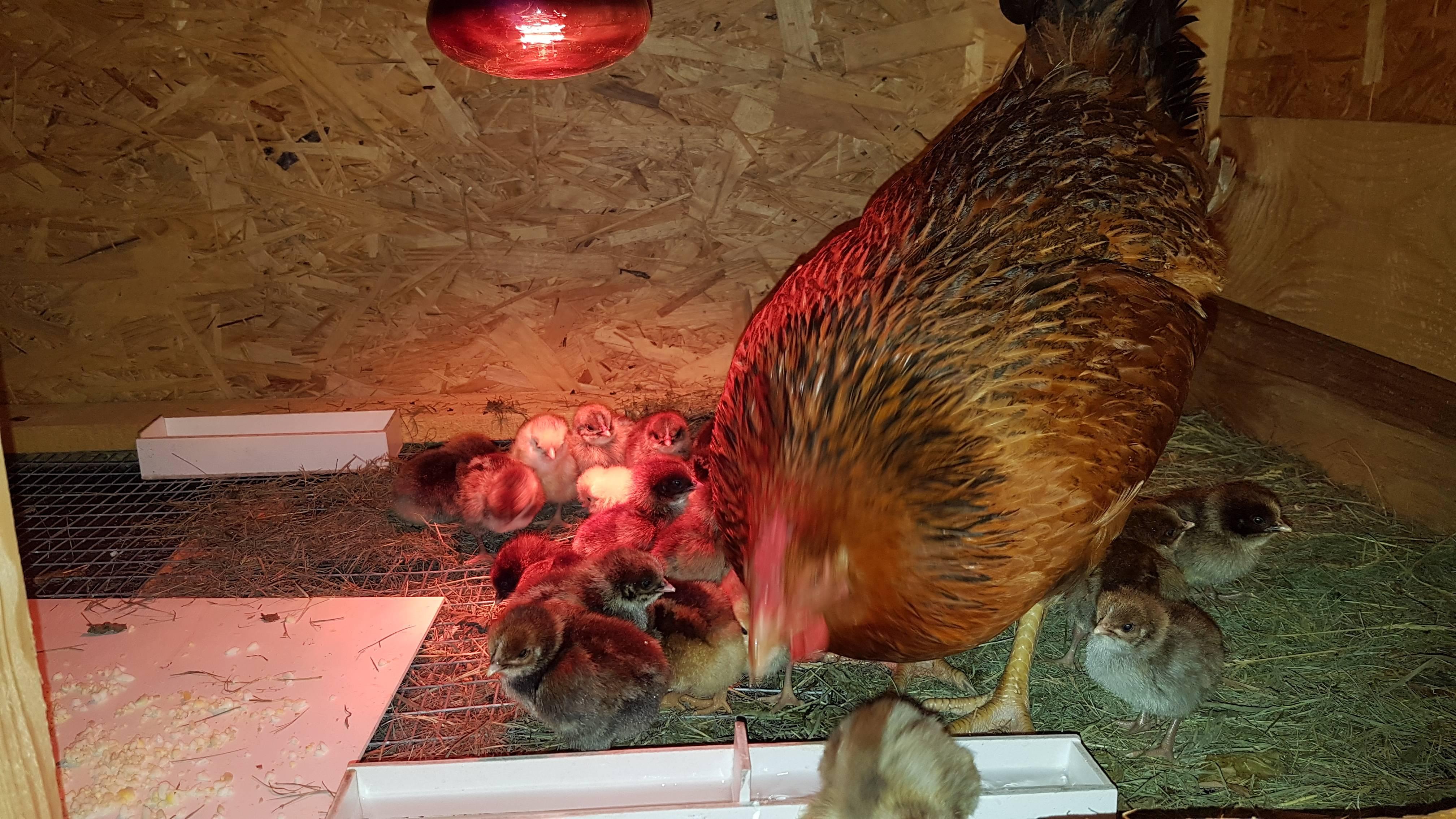 Сонник подкладывать яйца под курицу наседку. к чему снится подкладывать яйца под курицу наседку видеть во сне - сонник дома солнца