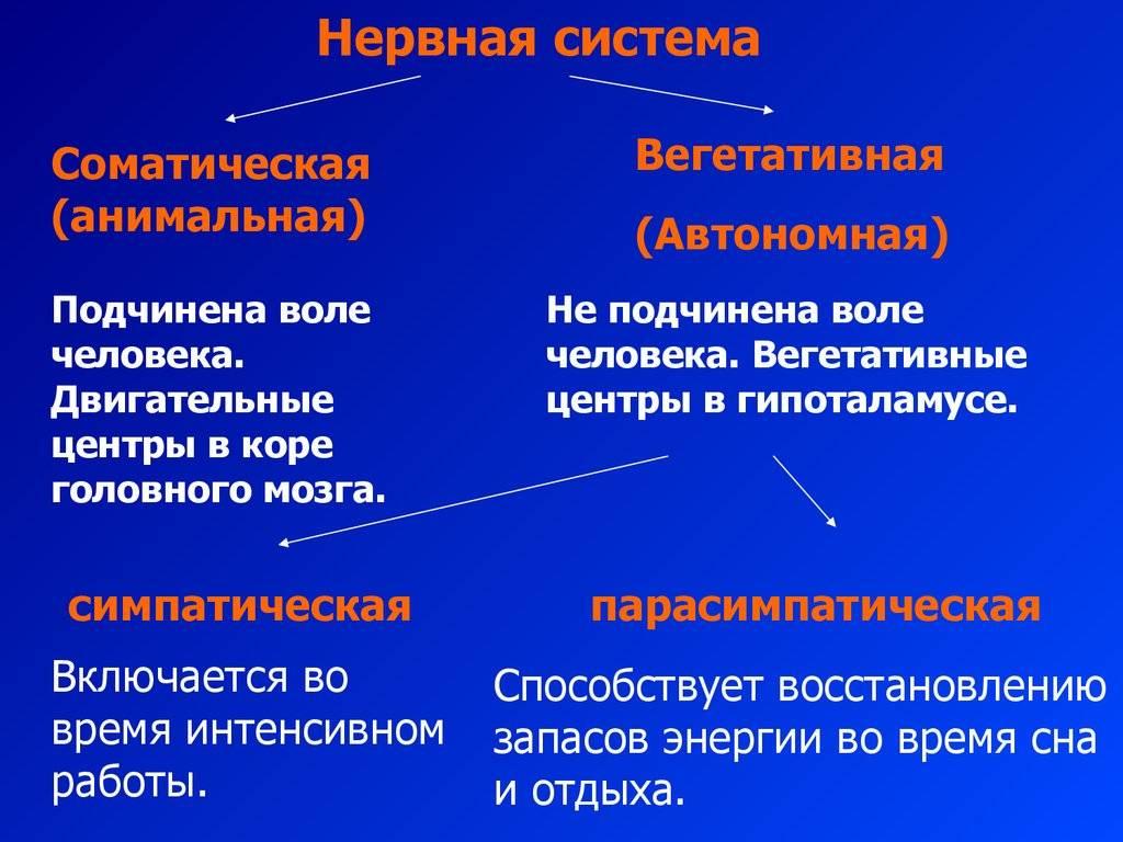 1.5. вегетативная нервная система (внс).