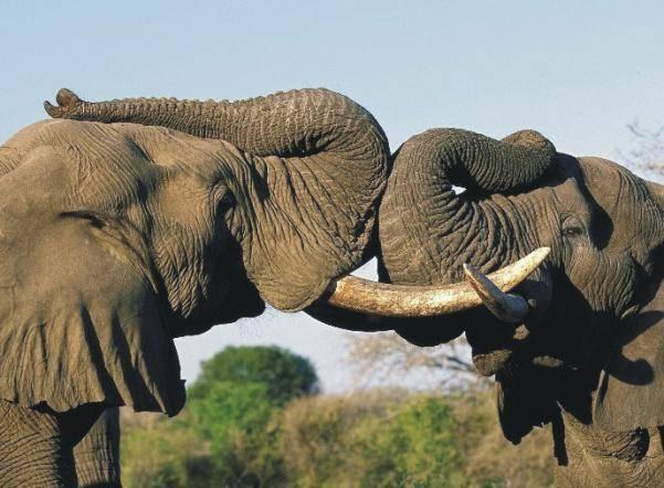 А как   как съесть слона   akak.ru
