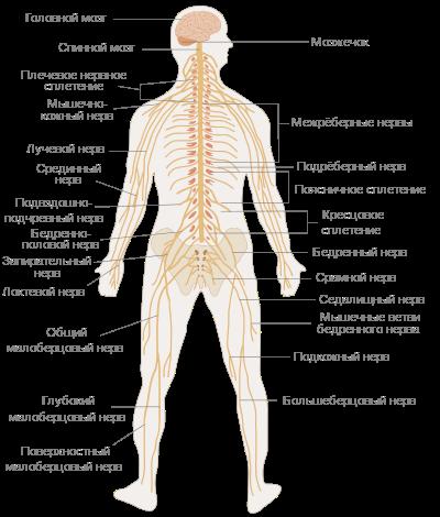 Энциклопедия - вегетативная нервная система