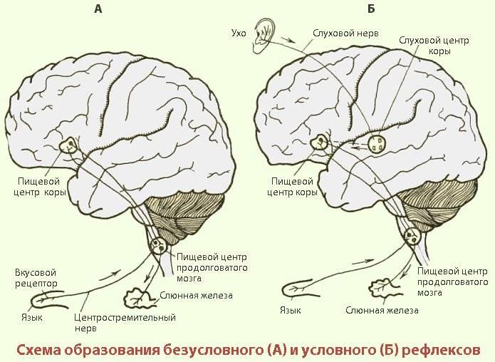 Психология: рефлексы - бесплатные статьи по психологии в доме солнца