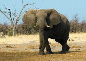 Слон – добродушный гигант