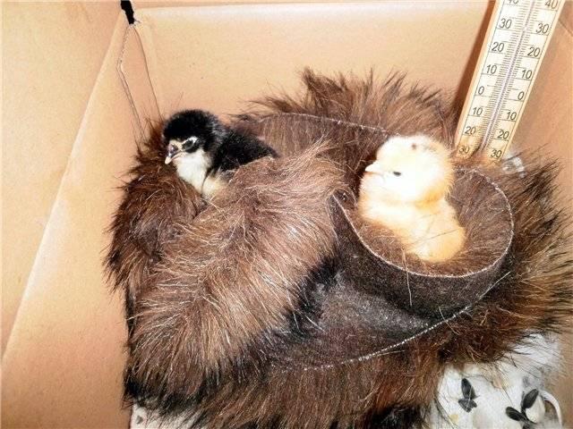 Подкладывать яйца под курицу наседку