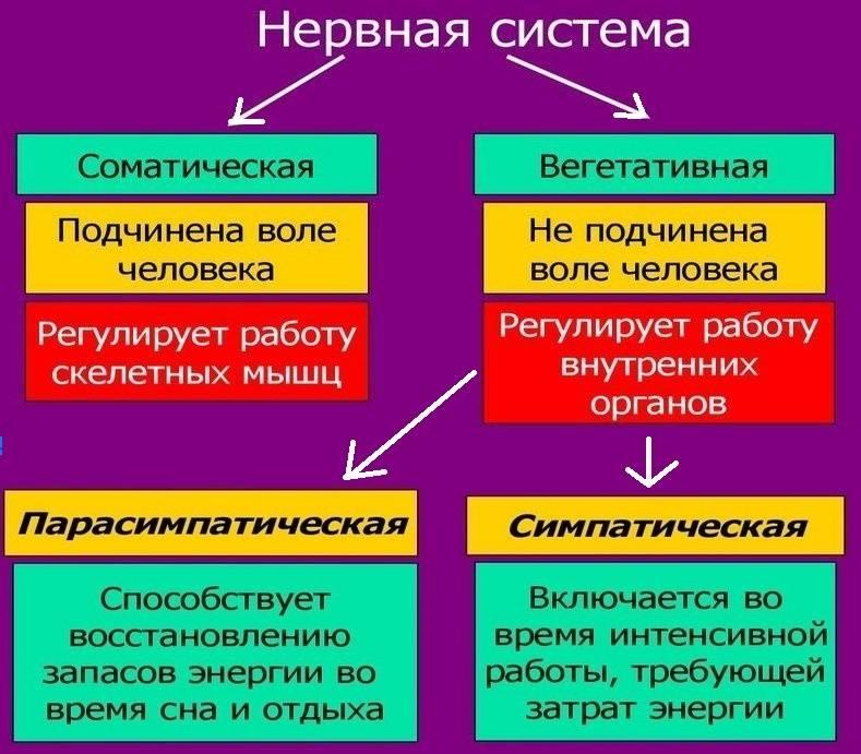 Вегетативная нервная система - биология егэ