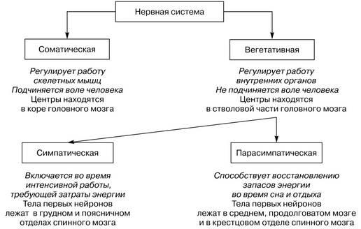 Нервная система: функции, отделы, принцип работы