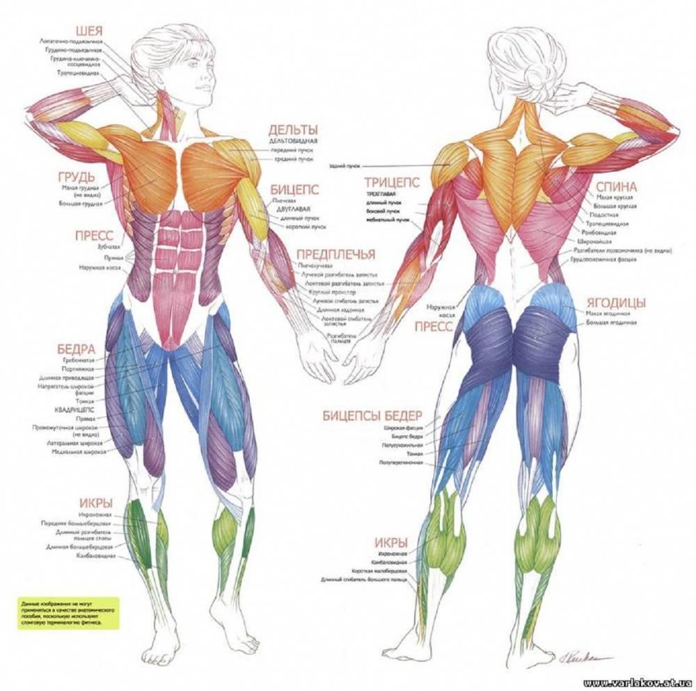 Где чаще всего образуются мышечные зажимы